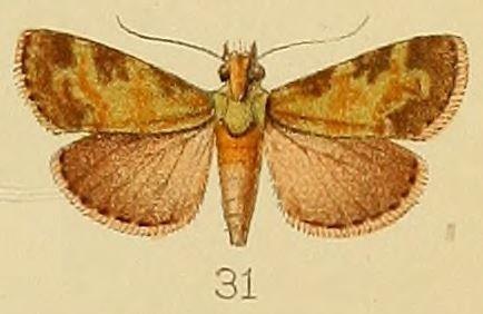 Image of <i>Stericta subviridalis</i> Kenrick 1907
