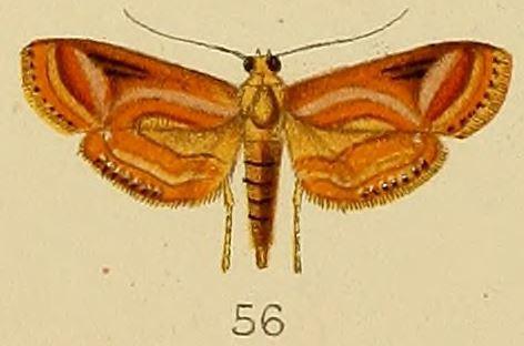 Image of <i>Aulacodes purpurealis</i> Kenrick 1907