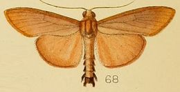 Image of <i>Caprinia unicoloralis</i> Kenrick 1906