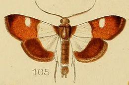 Image of <i>Caprinia castanealis</i> Kenrick 1906