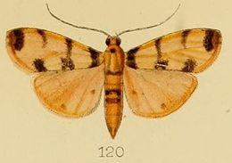 Image of <i>Dichocrocis pardalis</i> Kenrick 1907
