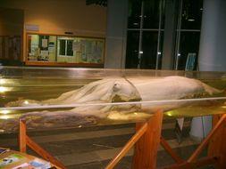 Image of Giant squid