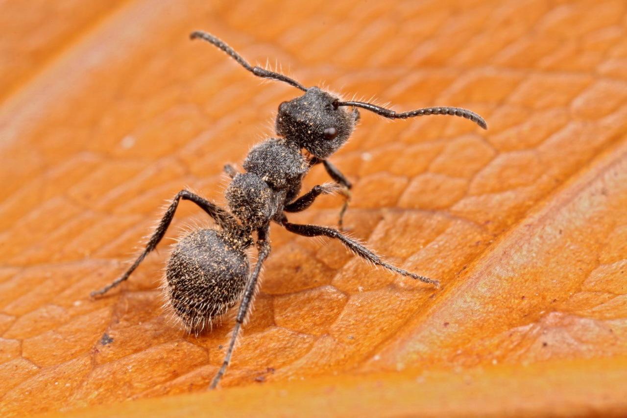 Image of Echinopla