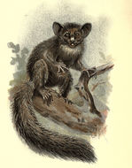 Image of <i>Daubentonia madagascariensis</i> (Gmelin 1788)
