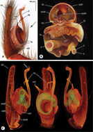 Image of <i>Progradungula otwayensis</i> Milledge 1997