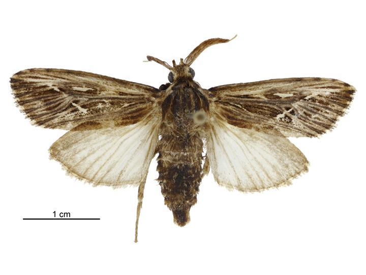 Image of <i>Acritocera negligens</i> Butler 1886