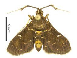 Image of <i>Piletocera xanthosoma</i> Meyrick 1886