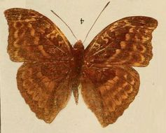 Image of <i>Bebearia cottoni</i>