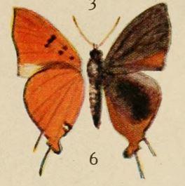 Image of <i>Aphnaeus chapini</i> (Holland 1920)