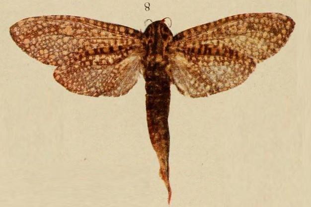 Image of <i>Alophonotus rauana</i>