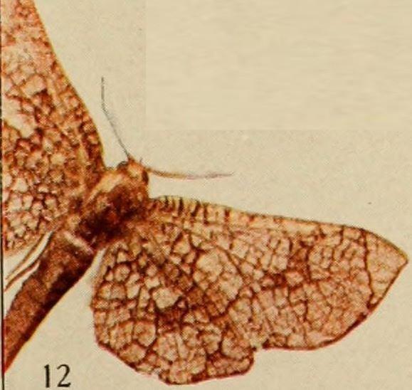 Image of <i>Chrysotypus medjensis</i>