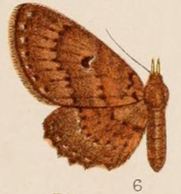 Image of <i>Collix rufipalpis</i> Hampson 1907