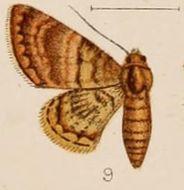 Image of <i>Hybridoneura abnormis</i> Warren 1898