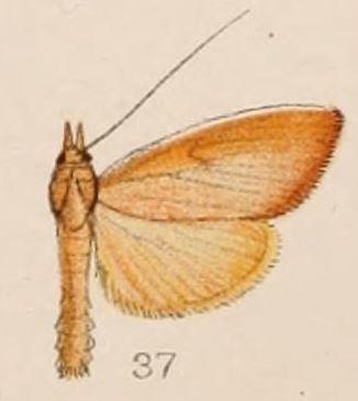 Image of <i>Calamochrous sarcalis</i> Hampson 1908