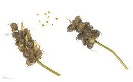Image of <i>Astragalus gummifer</i>