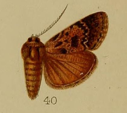 Image of <i>Macalla eumictalis</i> Hampson 1912