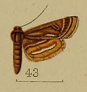 Image of <i>Parapoynx andreusialis</i> Hampson 1912