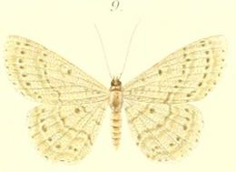 Image of <i>Catoria delectaria</i> Walker 1866