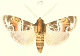 Image of <i>Stericta corticalis</i> Pagenstecher 1900