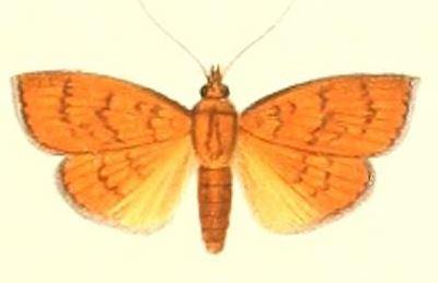 Image of <i>Paliga ignealis</i>