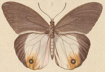 Image of <i>Taenaris onolaus</i> Kirsch 1877