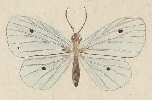 Image of <i>Derxena nivea</i> Kirsch 1877