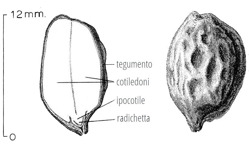 Image of jojoba