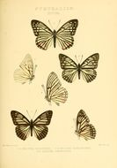 Image of <i>Hestina persimilis</i> Westwood (1850)