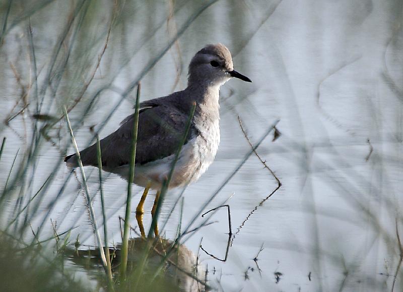 Image of White-tailed Lapwing