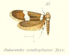 Image of <i>Sobareutis conchophanes</i> Meyrick 1910