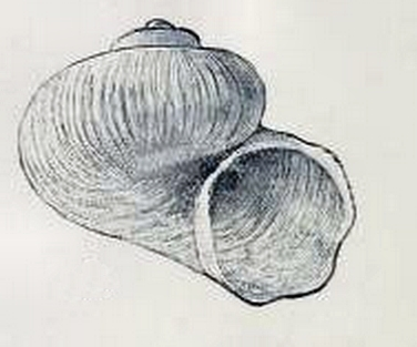 Image of <i>Dikoleps pruinosa</i> (Chaster 1896)