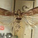 Image of Honeydew moth