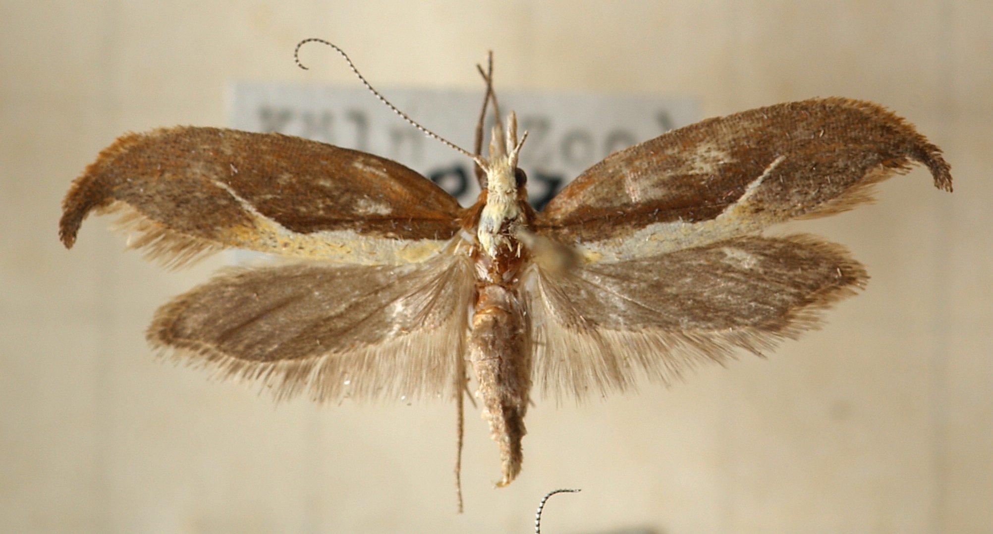 Image of <i>Ypsolopha dentella</i> (Fabricius 1775) Fabricius 1775
