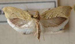 Image of <i>Ypsolopha persicella</i> (Fabricius 1787) Fabricius 1787