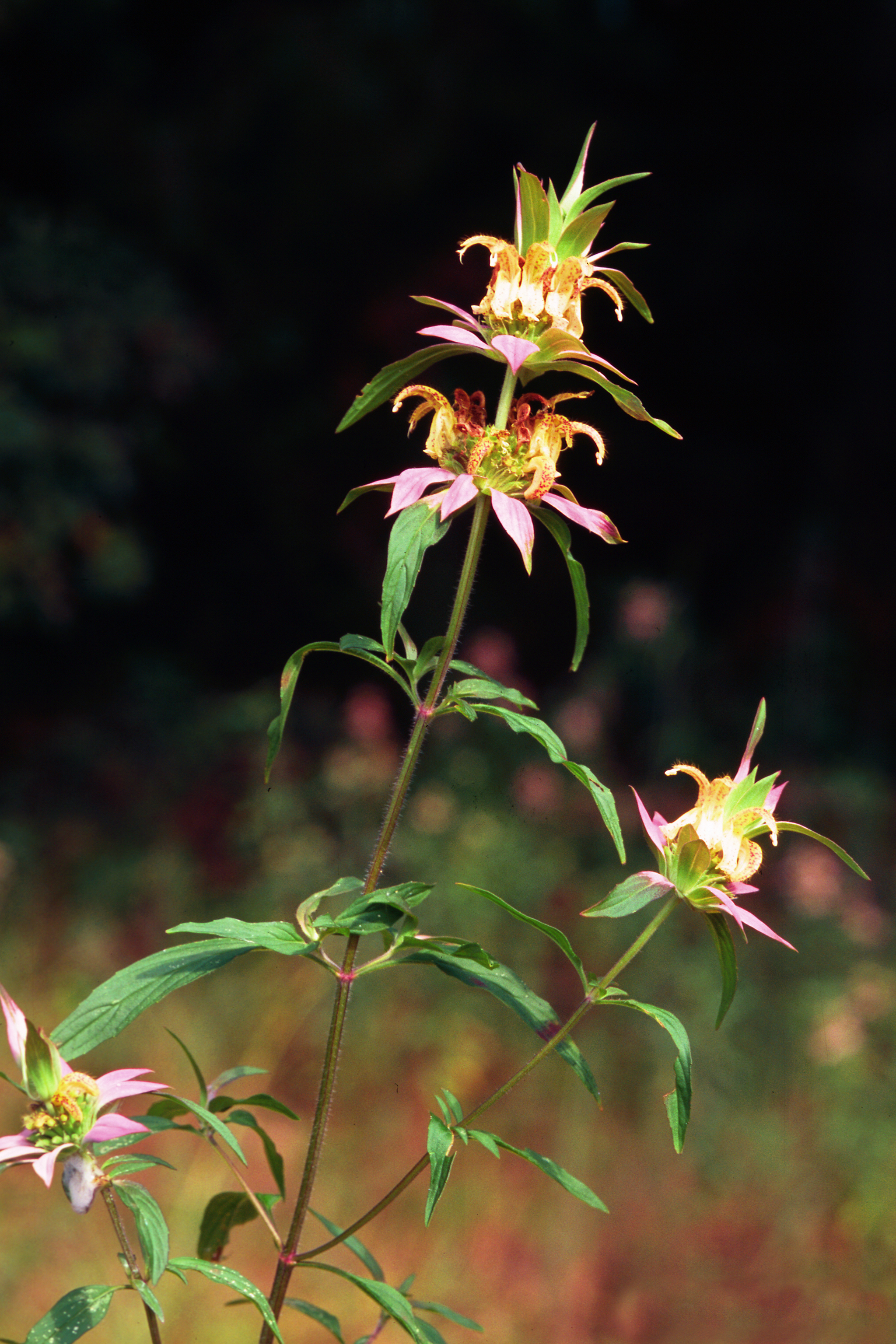 Image of spotted horsemint