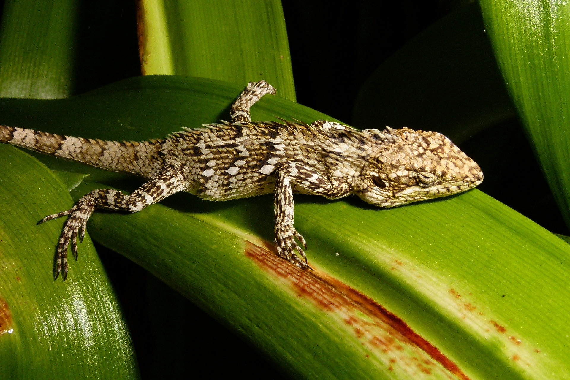 Image of Horsfield's Spiny Lizard