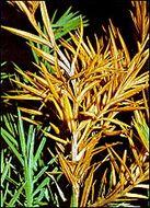 Image of <i>Phomopsis juniperivora</i> G. Hahn 1920
