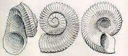 Image of <i>Liocarinia disjuncta</i> (Hedley 1903)