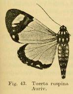 Image of <i>Aletopus ruspina</i>
