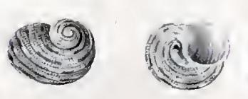 Image of <i>Liotella cancellata</i> (Krauss 1848)