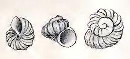 Image of <i>Liotella crassicostata</i> (Strebel 1908)
