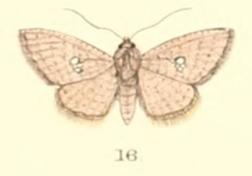 Image of Sapodilla Borer Moth