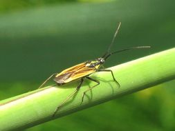 Image of Meadow Plant Bug