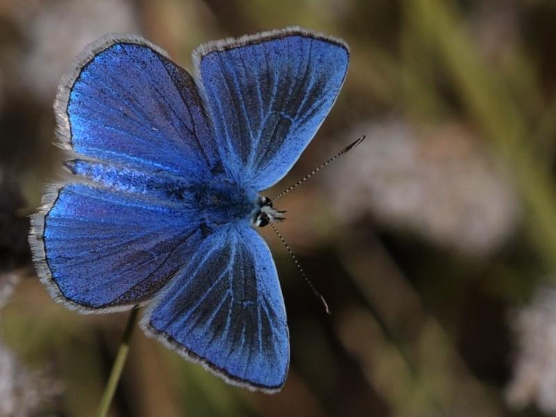 Image of <i>Agrodiaetus actis</i>