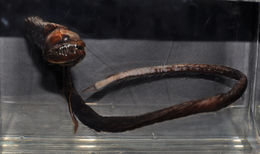 Image of Idiacanthus