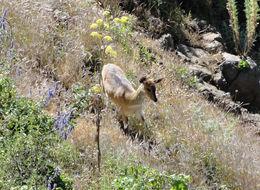 Image of Mountain Nyala
