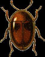 Image of <i>Corylophus sublaevipennis</i> Jacquelin du Val 1859