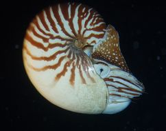 Image of Bellybutton nautilus