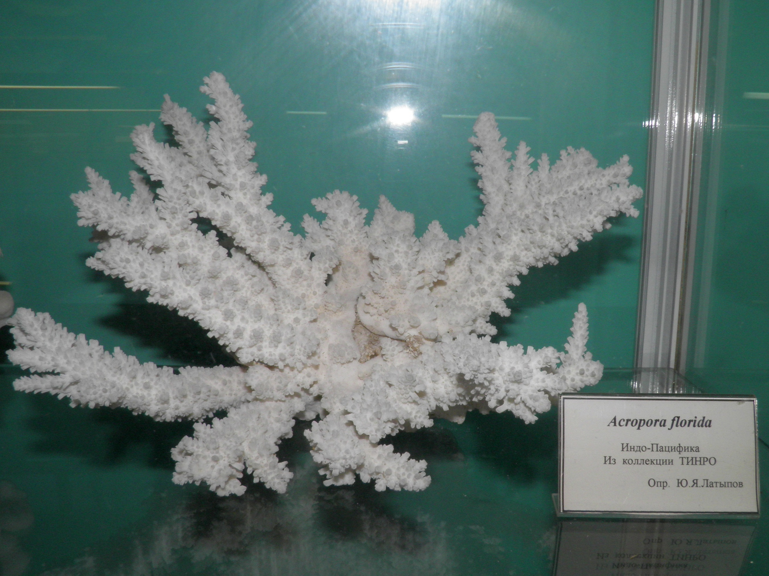Image of Branch Coral