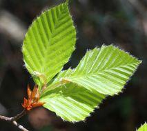 Image of Japanese beech